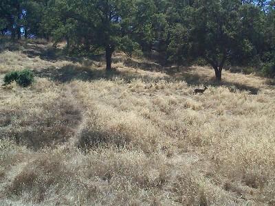 Deer back at home in Belgatos Park, Los Gatos, CA