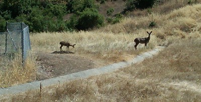 Two deer in Belgatos Park, Los Gatos
