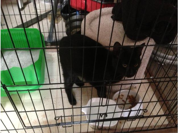 Belwood of Los Gatos lost cat Jan 2013