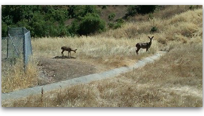 Two deer - Belgatos Park, Los Gatos